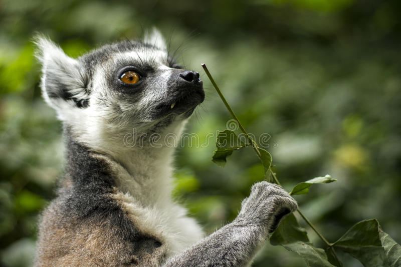 Ring Tailed Lemur 3 photographie stock