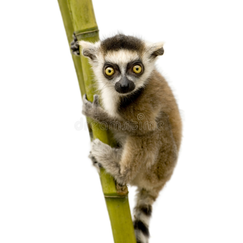 Free Ring-tailed Lemur (6 Weeks) - Lemur Catta Stock Images - 5632954