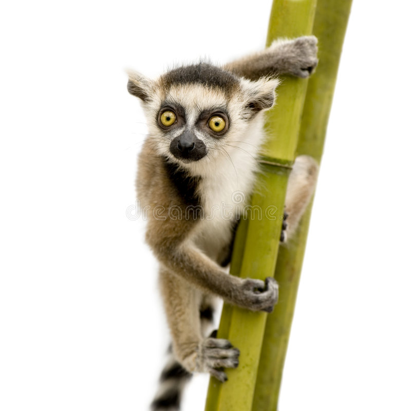 Ring-tailed Lemur (6 weeks) - Lemur catta. In front of a white background royalty free stock images