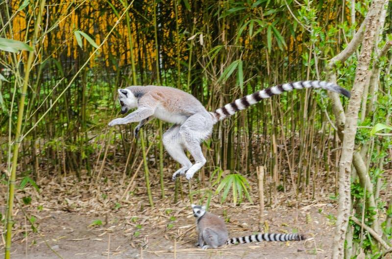 Ring-tailed Lemur Free Public Domain Cc0 Image
