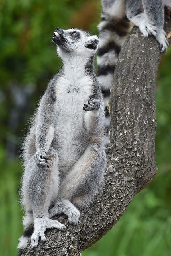 Ring-tailed Lemur stockbilder