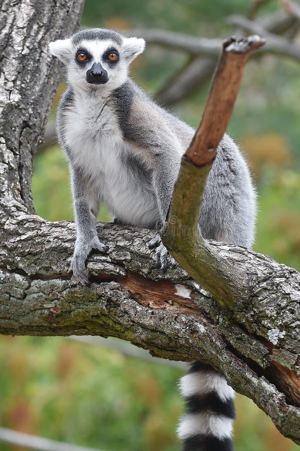 Ring-tailed Lemur lizenzfreie stockfotos
