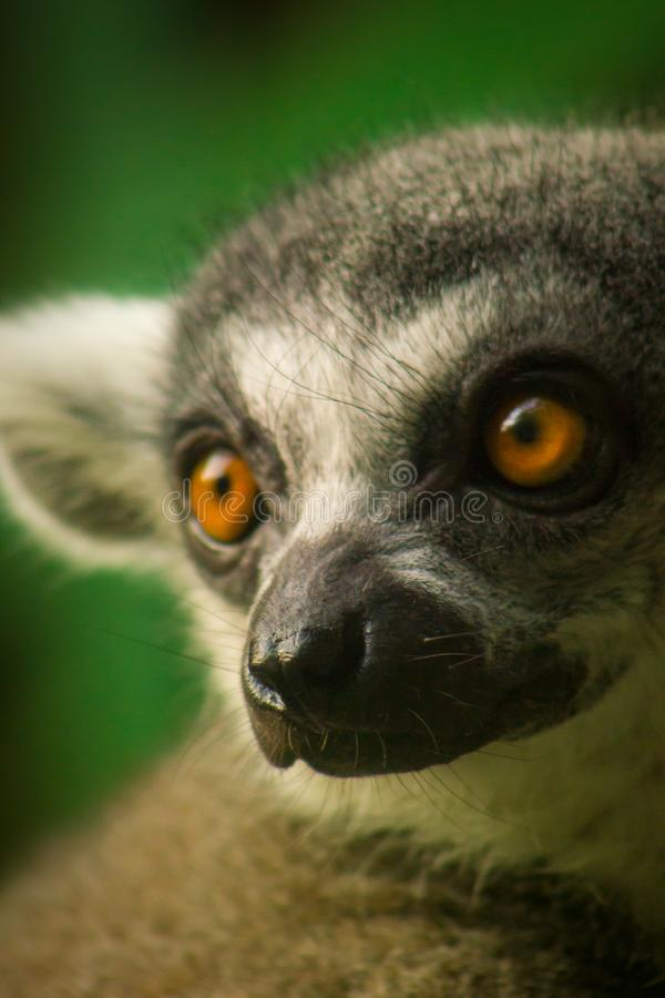 Ring-tailed Lemur stockfotos