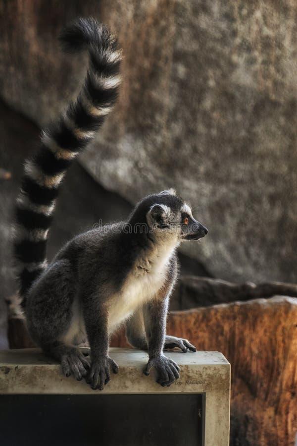 Ring Tailed Lemur anseende på en bildskärm arkivfoton