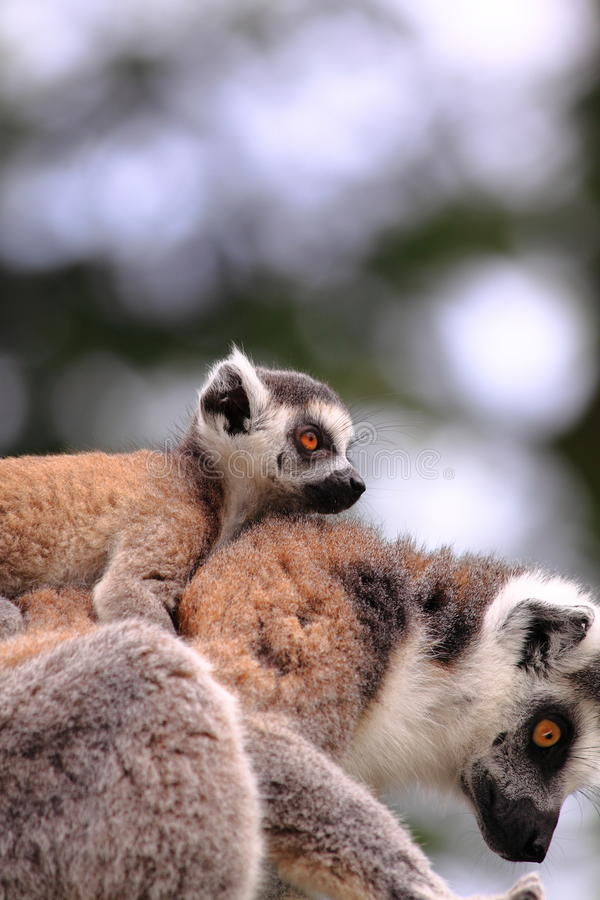 Download Ring tailed lemur baby stock photo. Image of forest, madagascan - 14315676