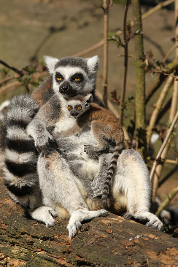 Ring-tailed lemur with a baby stock photos