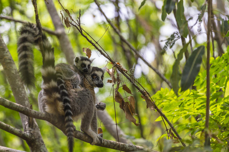 Ring tailed Lemur and baby on a green branch tree in Madagascar. Cute ring tailed Lemur with a baby on the back standing on the branch of a tree in the jungle of stock image