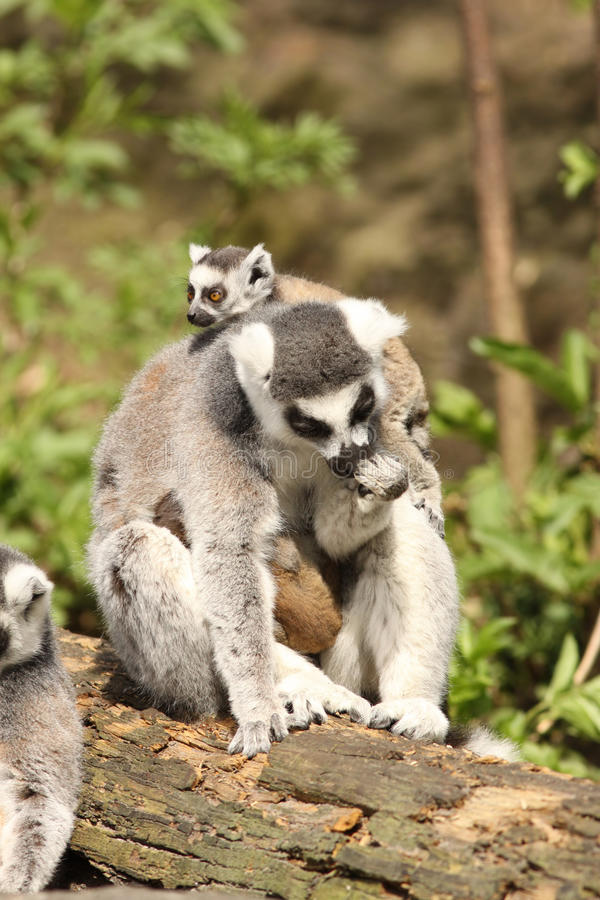 Ring-tailed lemur with a baby playing on its head. Animals: Ring-tailed lemur with a baby playing on its head stock photos
