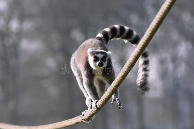 Ring Tailed Lemur balancing act. A ring tailed Lemur runs along a rope keeping in perfect balance by using its tail to distribute its weight evenly as it runs stock photography
