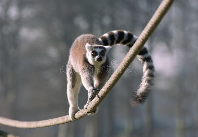 Ring Tailed Lemur balancing as it runs along a rope. A ring tailed Lemur runs along a rope keeping in perfect balance by using its tail to distribute its weight royalty free stock photo