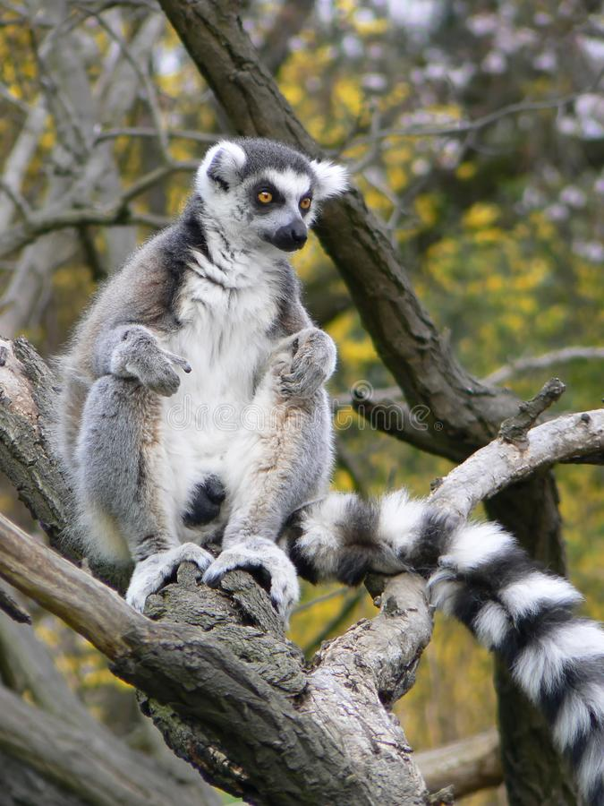 Ring tailed lemur on branch of tree stock images