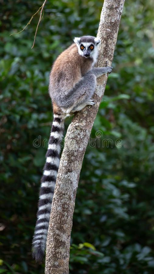 Ring-tailed lemur Lemur catta, Anja Reserve, Madagascar stock photos