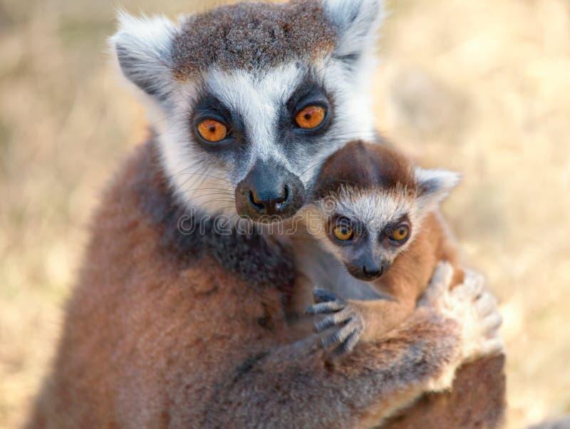 Ring tailed lemur catta royalty free stock image
