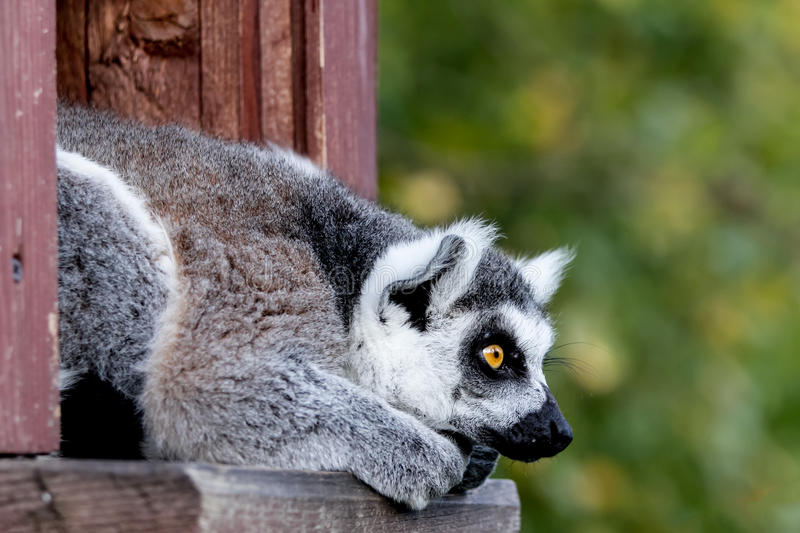 Ring-tailed lemur catta looking royalty free stock photo