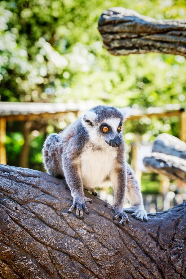 Ring-tailed Lemur `Lemur Catta` in safari-park. Krasnodar, Russia stock photography