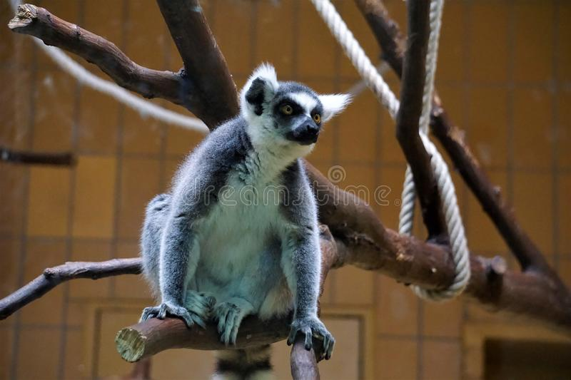 Ring-tailed lemur catta sitting on a branch royalty free stock photography