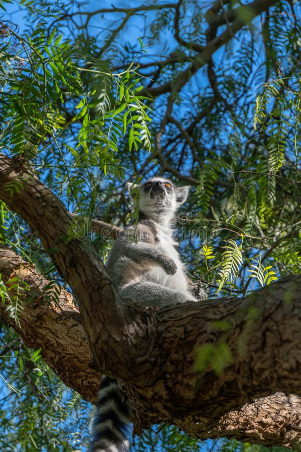 Ring Tailed Lemur chez le Bioparc en Valencia Spain le 26 février 2019 photo stock