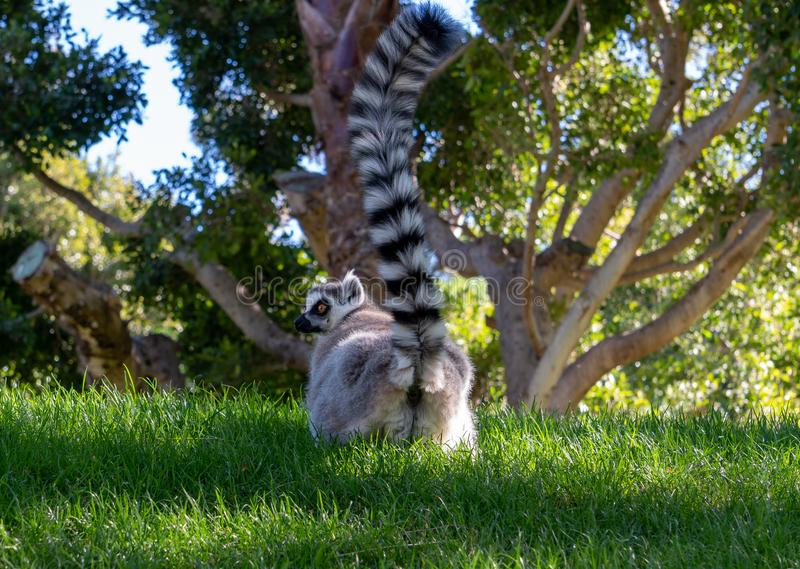 Ring Tailed Lemur chez le Bioparc en Valencia Spain le 26 février 2019 photos stock