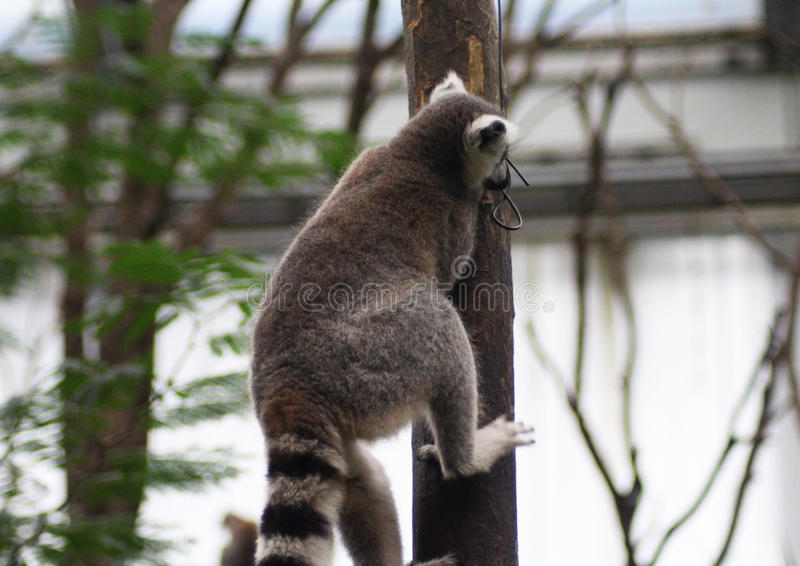 Download Ring tailed lemur climbing stock photo. Image of funny - 83704400