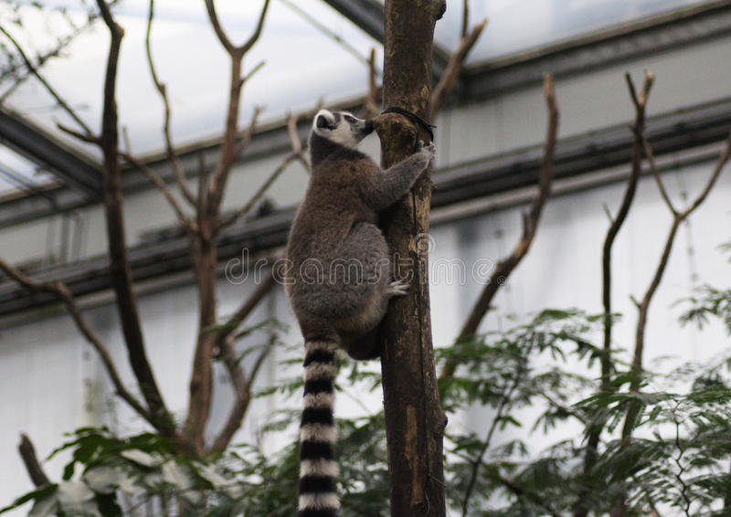 Download Ring tailed lemur climbing stock photo. Image of hands - 83705098