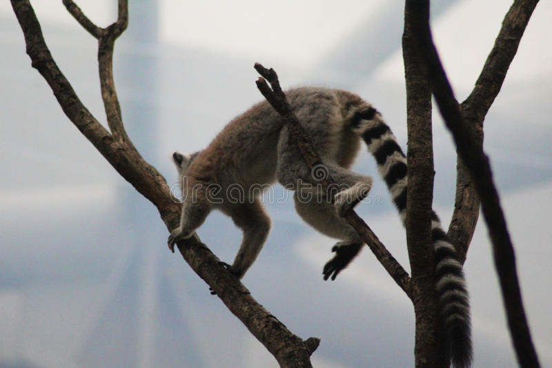 Download Ring tailed lemur climbing stock photo. Image of emmen - 83705310