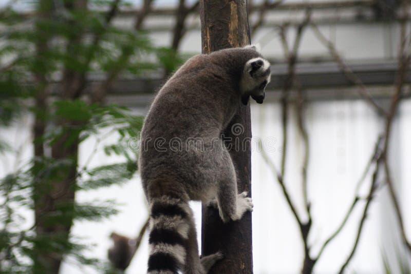 Download Ring tailed lemur climbing stock image. Image of furry - 83705401