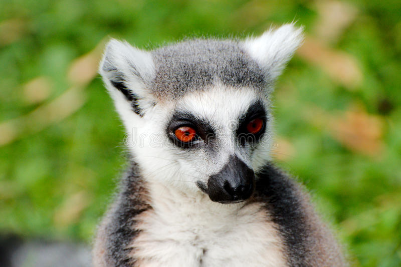 Ring-tailed Lemur. Cloeup view of a Ring tailed Lemur royalty free stock photography