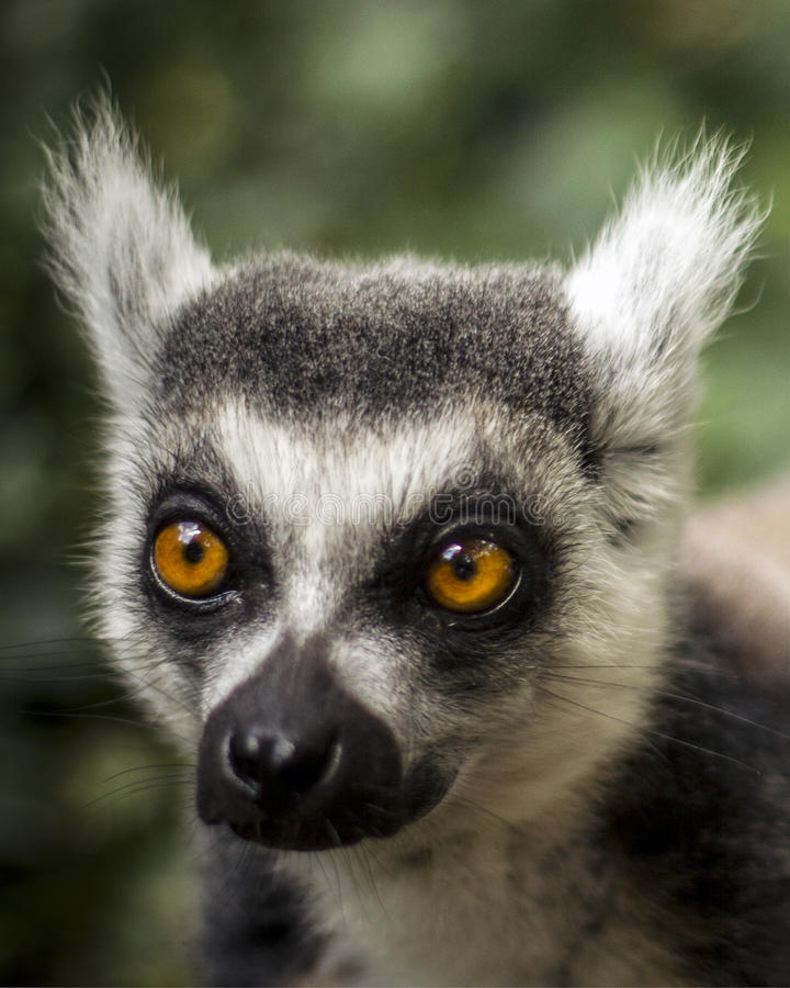 Ring Tailed Lemur. A ring tailed lemur at close range. What brilliant fluffy ears he has. The Ring-Tailed Lemur (Lemur catta) is a primate and found solely on royalty free stock photo