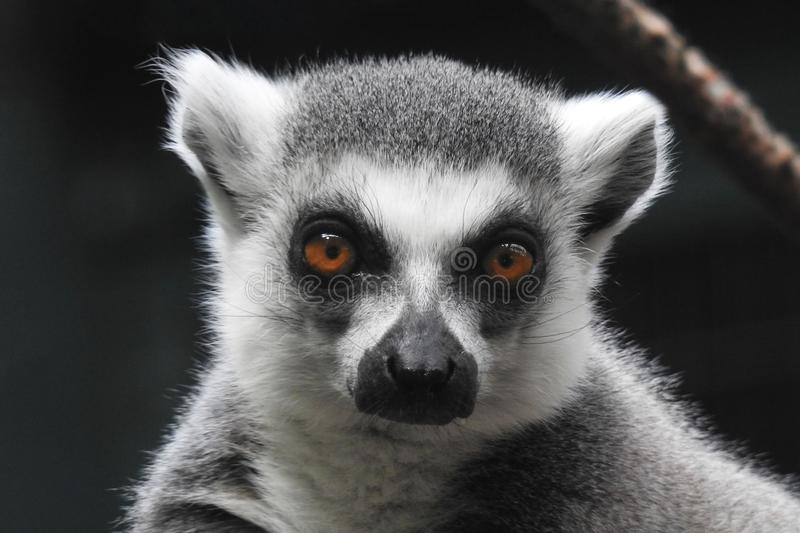Ring Tailed Lemur Close up stock photography