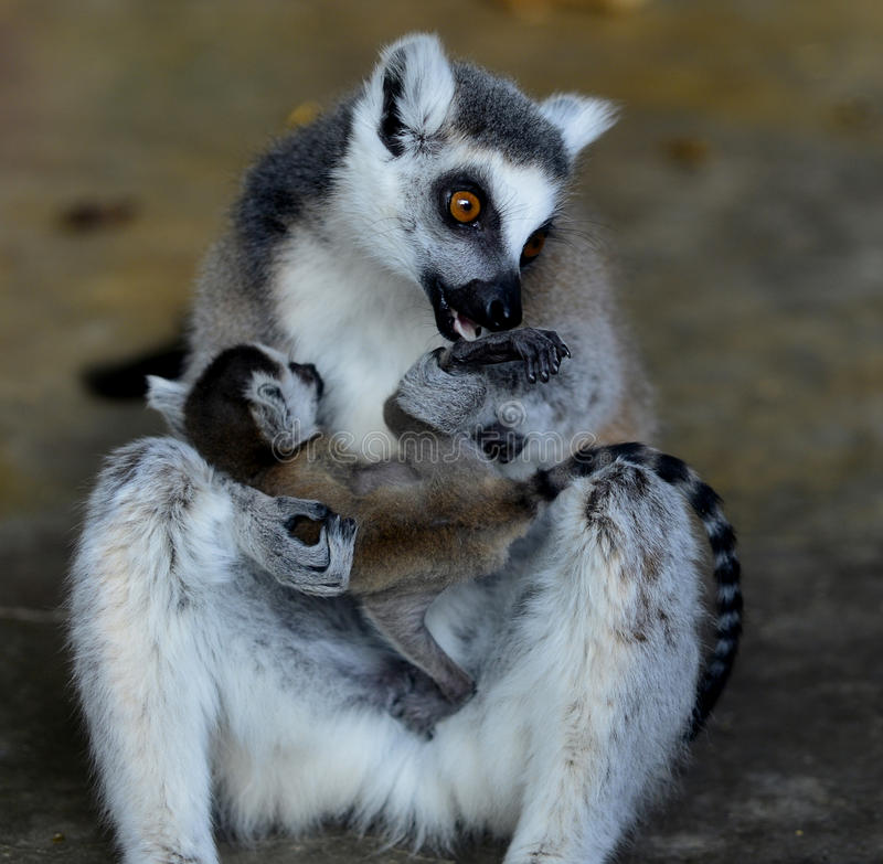 Ring-tailed Lemur. Close-up of lovely naughty ring-tailed lemur royalty free stock photo