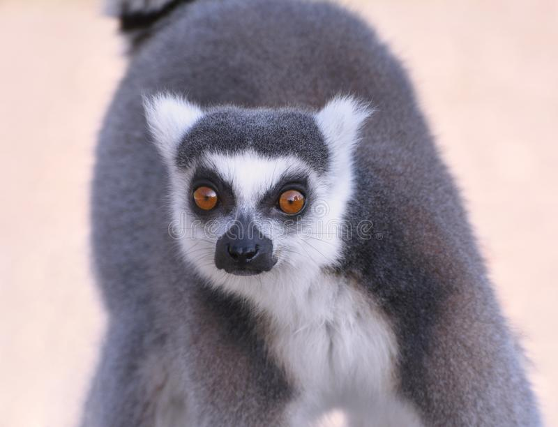 Ring Tailed Lemur close up - running towards me royalty free stock image