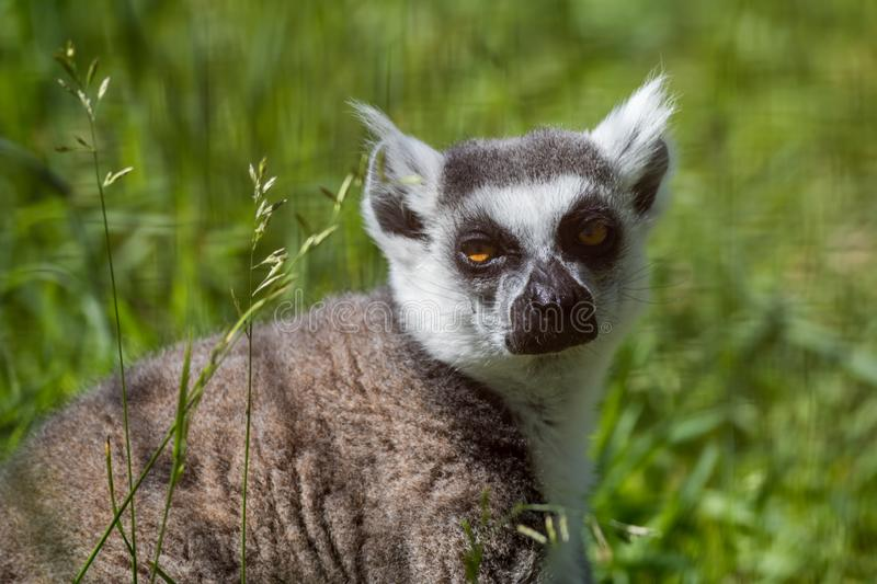 Ring-Tailed Lemur closeup portrait, a large gray primate with golden eyes. Ring-Tailed Lemur closeup portrait, Lemur catta, a large gray primate with golden eyes royalty free stock images