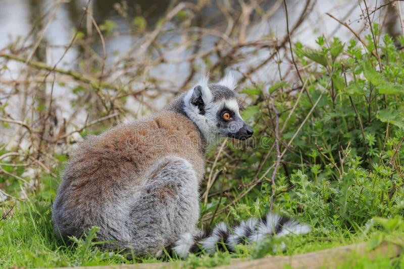Ring Tailed Lemur dans le bel intérieur occidental Safari Park photographie stock