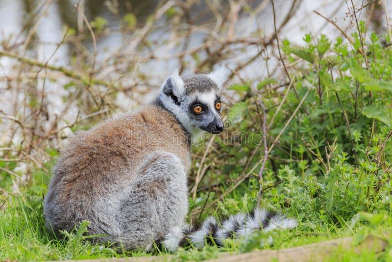 Ring Tailed Lemur dans le bel intérieur occidental Safari Park photo stock
