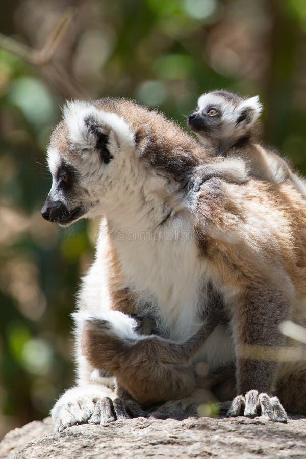 Ring Tailed Lemur, der in der Sonne mit Babys sich aalt lizenzfreie stockfotos