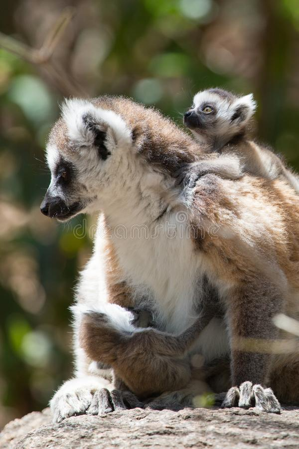 Ring Tailed Lemur die in zon met babys zonnebaden royalty-vrije stock foto's