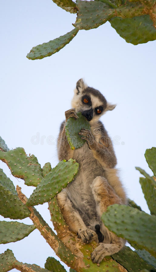Ring-tailed lemur eating cactus Prickly pear. Madagascar. stock photography
