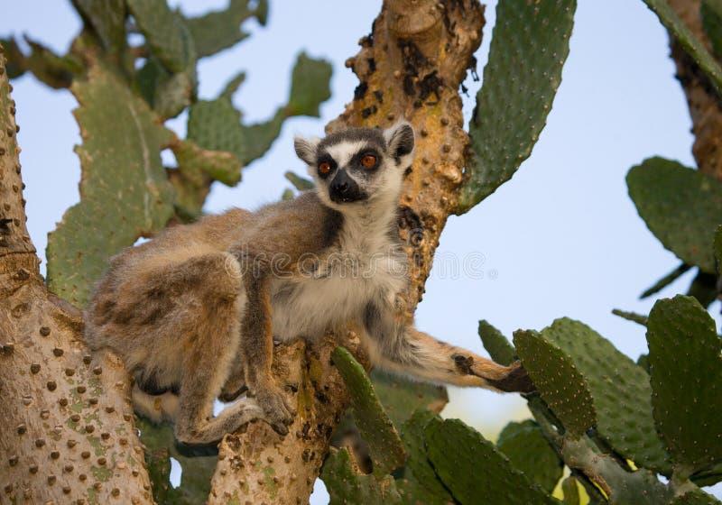 Ring-tailed lemur eating cactus Prickly pear. Madagascar. royalty free stock image