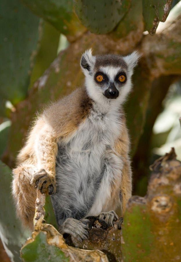 Ring-tailed lemur eating cactus Prickly pear. Madagascar. stock image