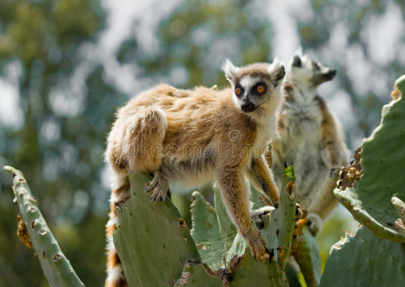 Ring-tailed lemur eating cactus Prickly pear. Madagascar. stock images