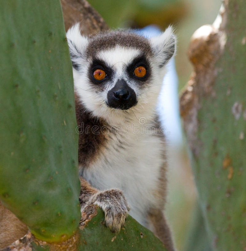 Ring-tailed lemur eating cactus Prickly pear. Madagascar. royalty free stock images