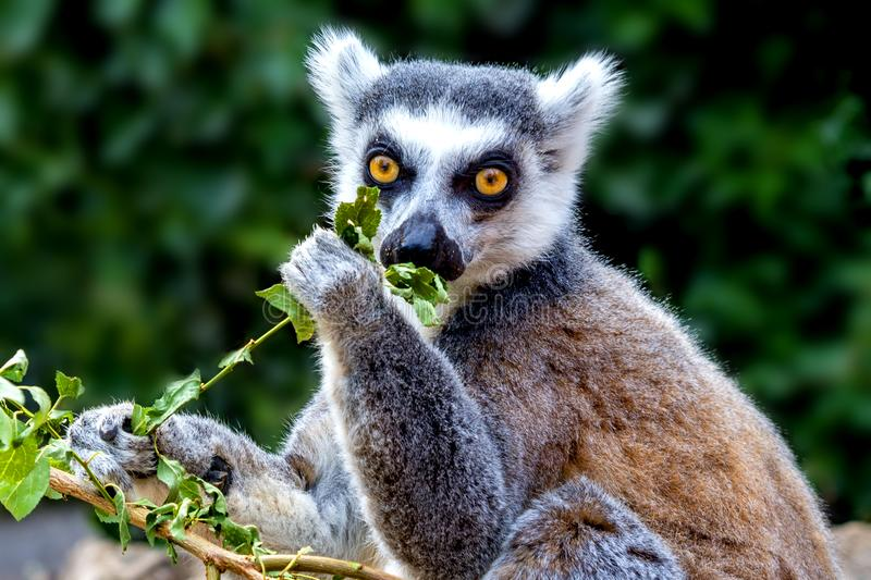 Ring-tailed lemur eating. Close up of a cute ring-tailed lemur eating green leaves stock image