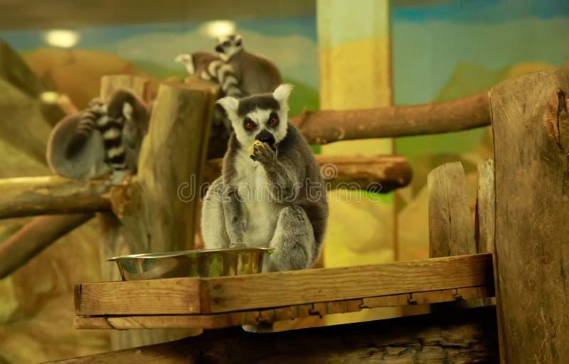 Ring-tailed lemur eating fruit stock image