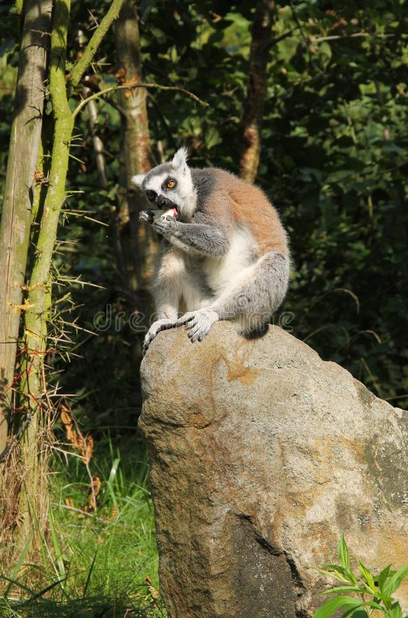 Ring-tailed lemur eating some food stock images