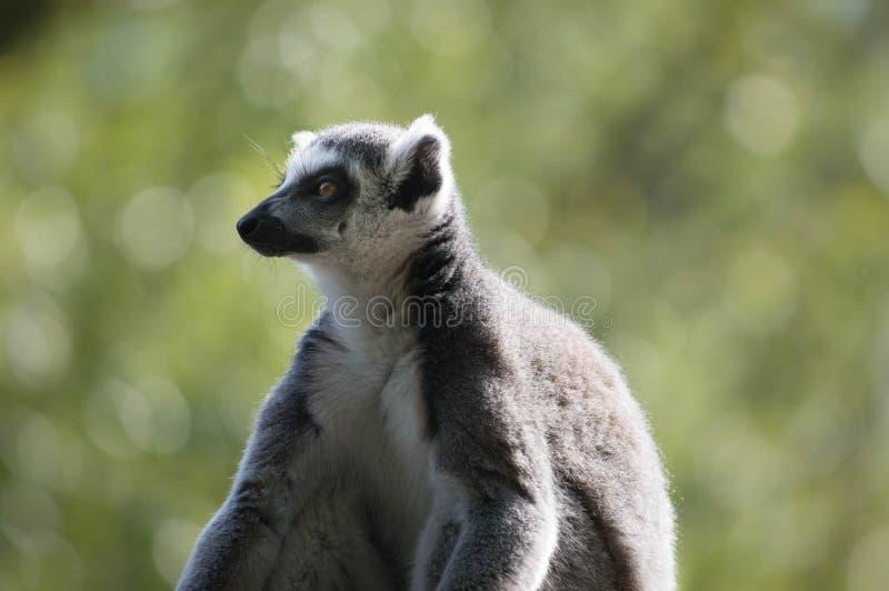 Ring Tailed Lemur exerçant la surveillance au-dessus de la famille photographie stock
