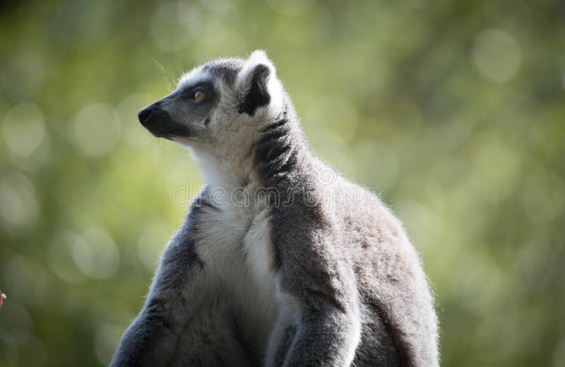 Ring Tailed Lemur exerçant la surveillance au-dessus de la famille image stock