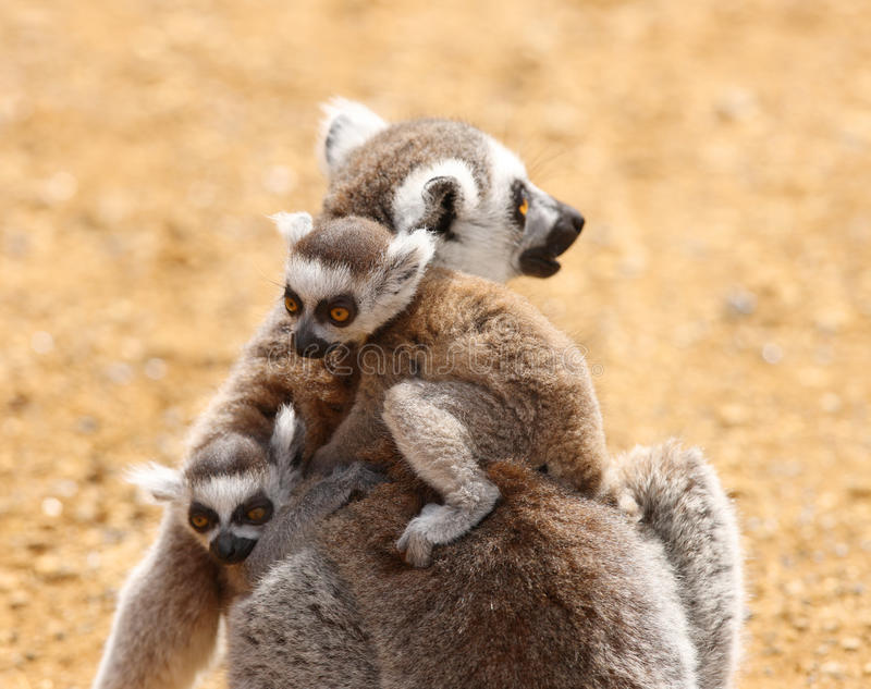 Ring Tailed Lemur family stock photos