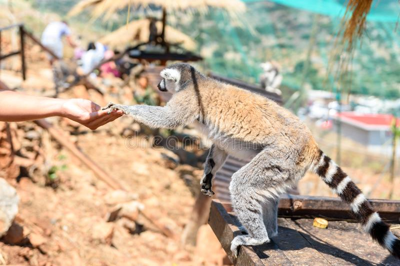 Ring-tailed lemur feeding in a contact zoo royalty free stock images