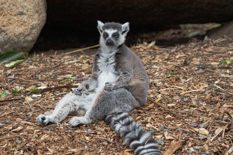A ring tailed lemur having a rest after a long day of play, close up stock photography