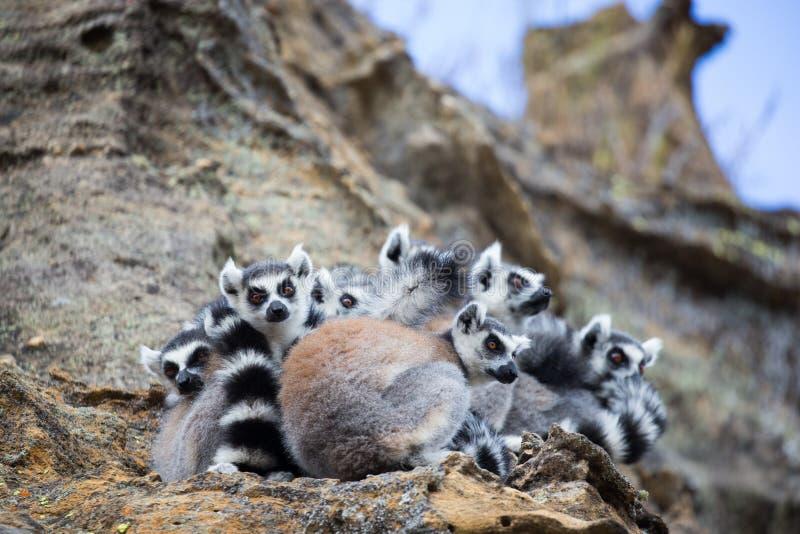Ring-tailed Lemur huddled together royalty free stock images